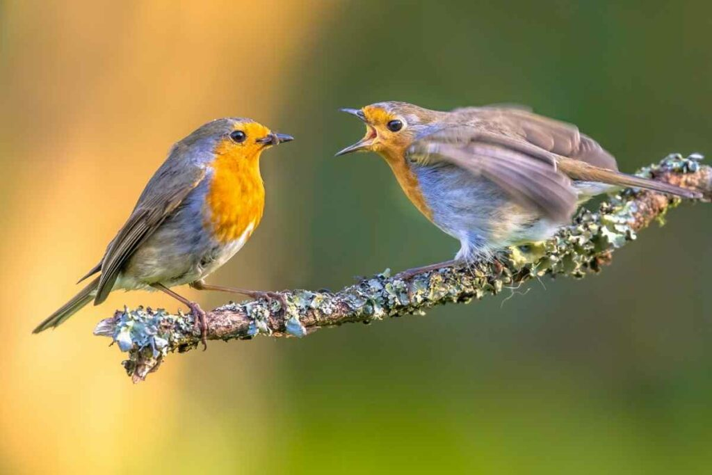 mother and baby robin