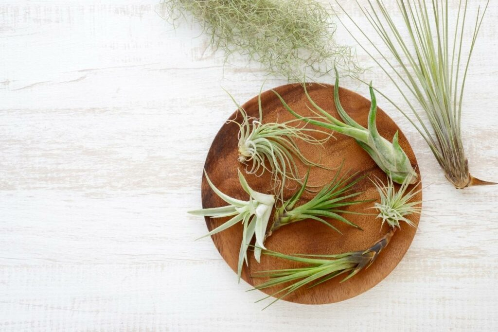 How Do You Take Care of Air Plants Mounted on Wood