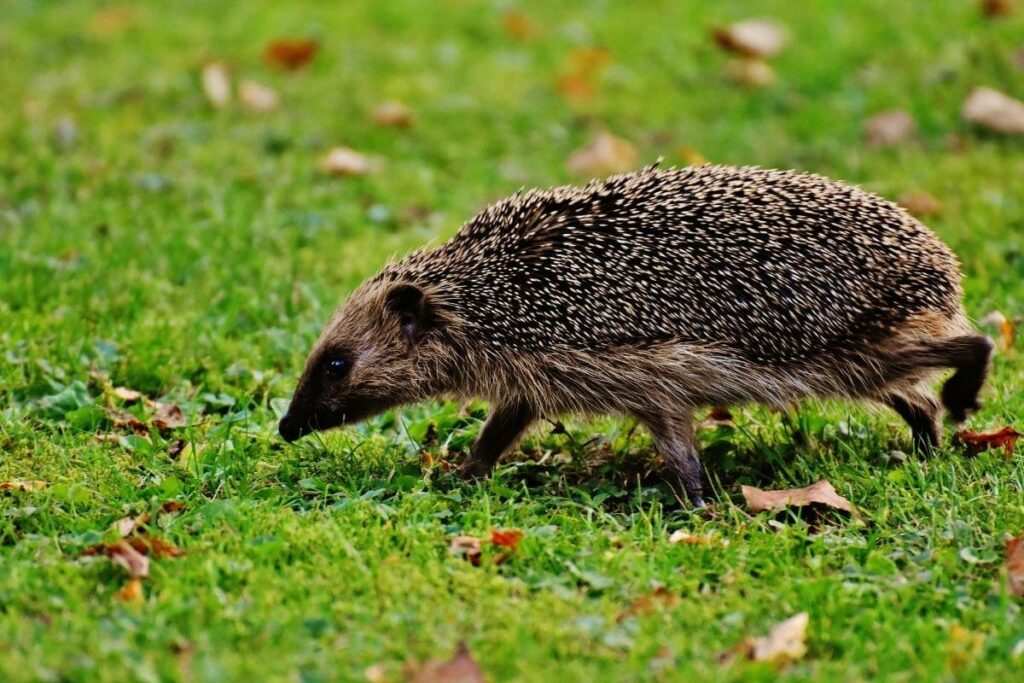 What to do if you have a hedgehog in your garden