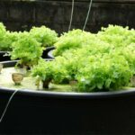 Does aquaponics need sunlight or not?