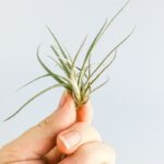 How To Attach Air Plants To Wood