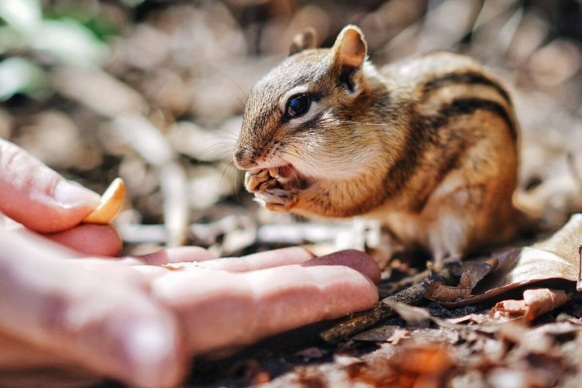 Is It Safe to Feed a Chipmunk By Hand?