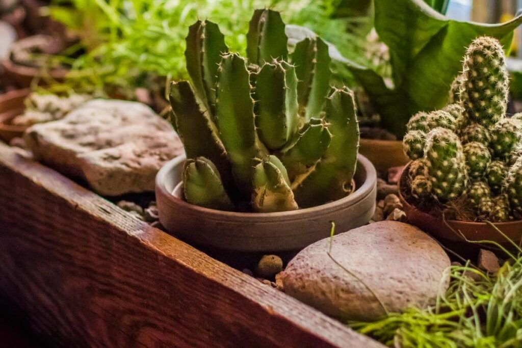 How to Water Outdoor Cacti?