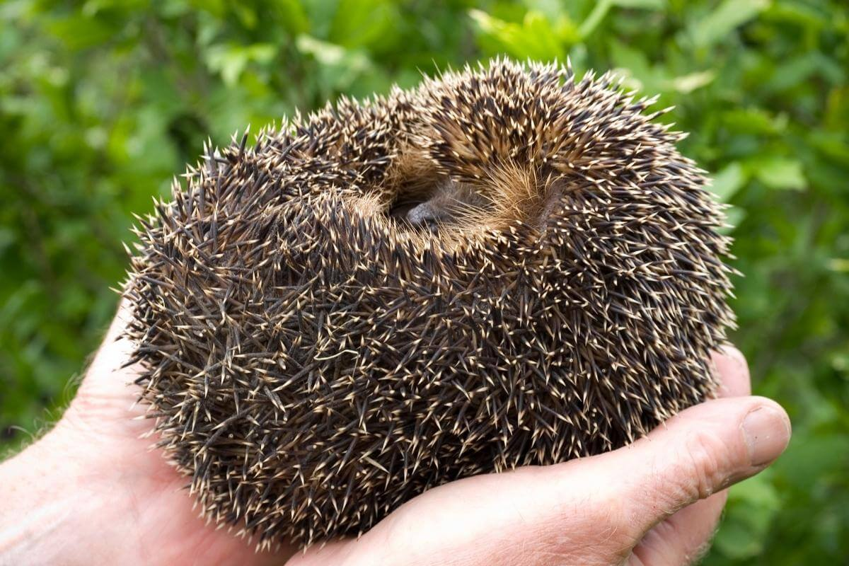 Why do hedgehogs curl up in a ball