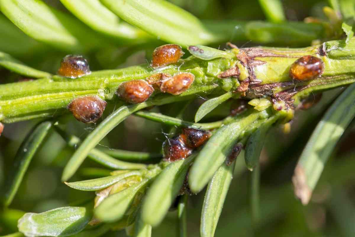Are Scale Insects Harmful to Humans?
