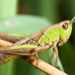 Do Grasshoppers Bite? Are They Dangerous?