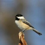 What Is the Most Common Bird in Massachusetts?