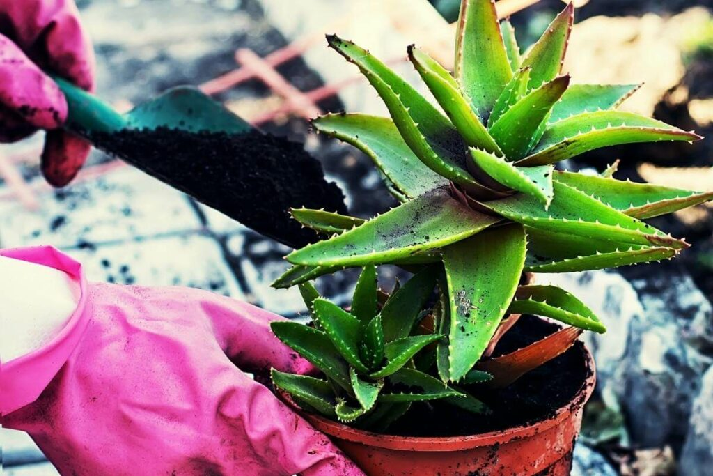 The right type of pot for Aloe Vera