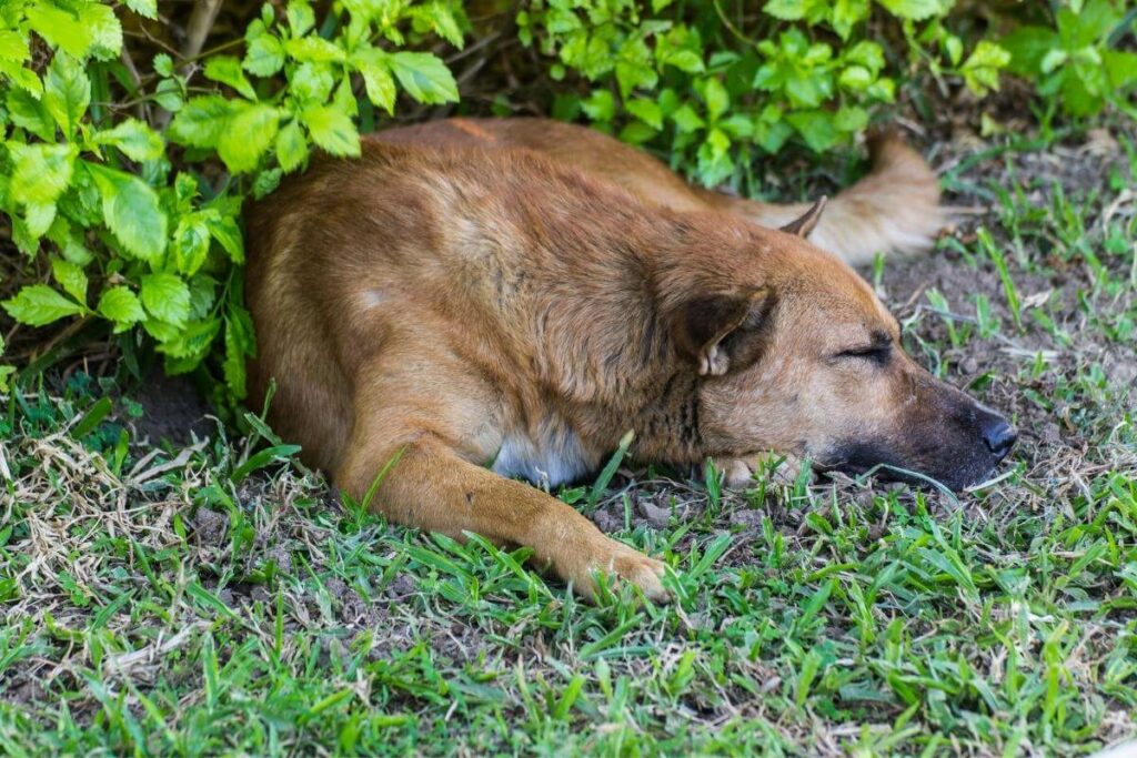 Dog could be urinating on your lawn