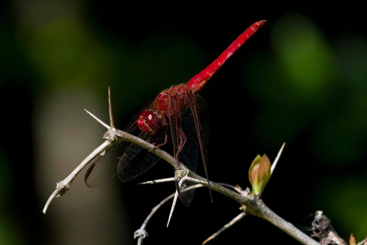 Are Dragonflies Good for the Garden