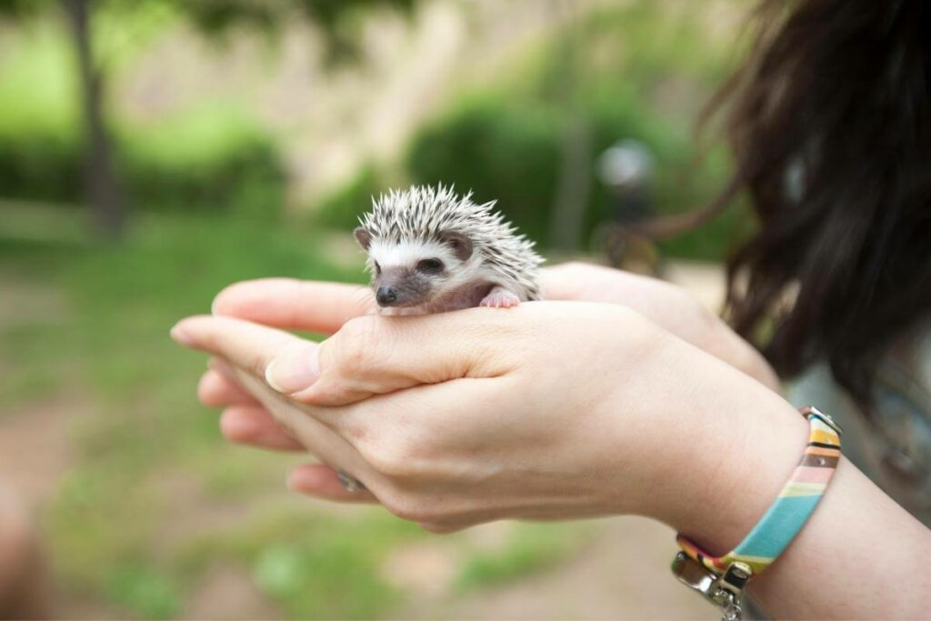 Are hedgehogs really messy