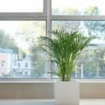 Areca Palm Drooping – Here's What to Do
