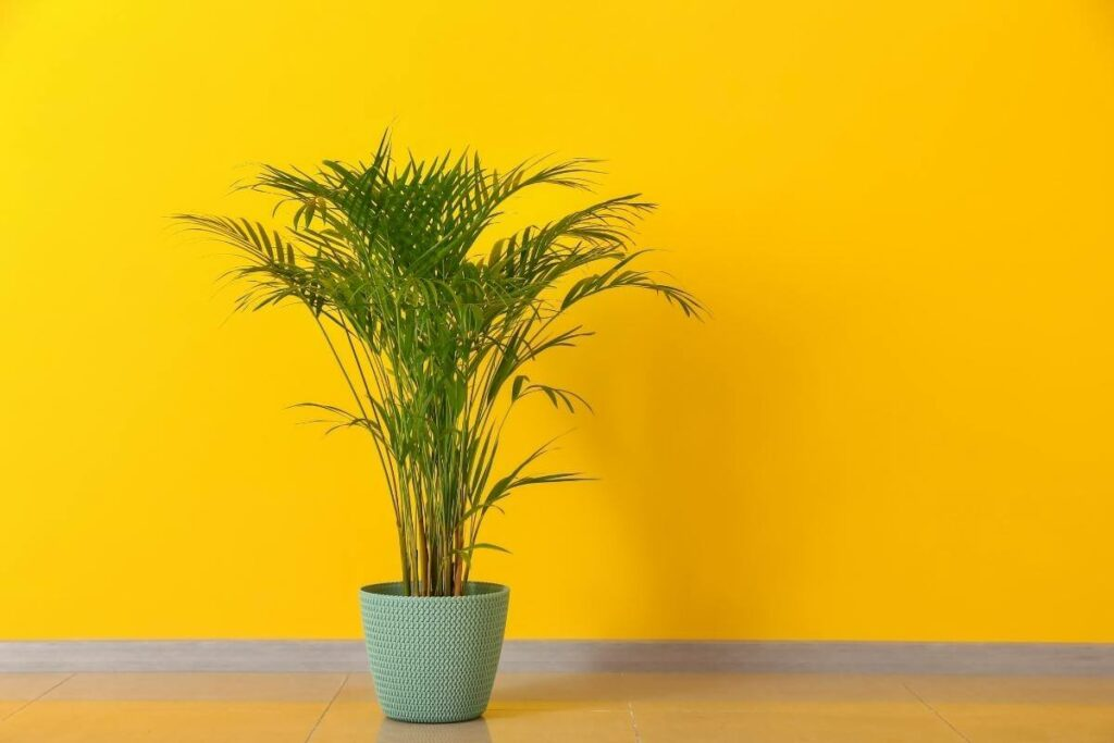 Signs that Areca palm drooping