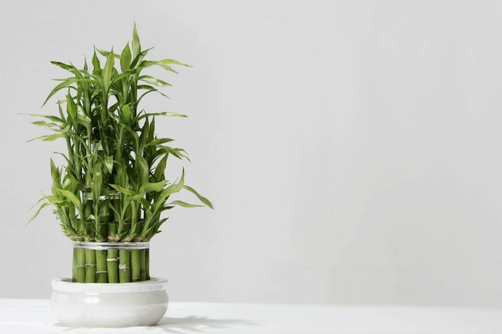 Plant bamboo lucky