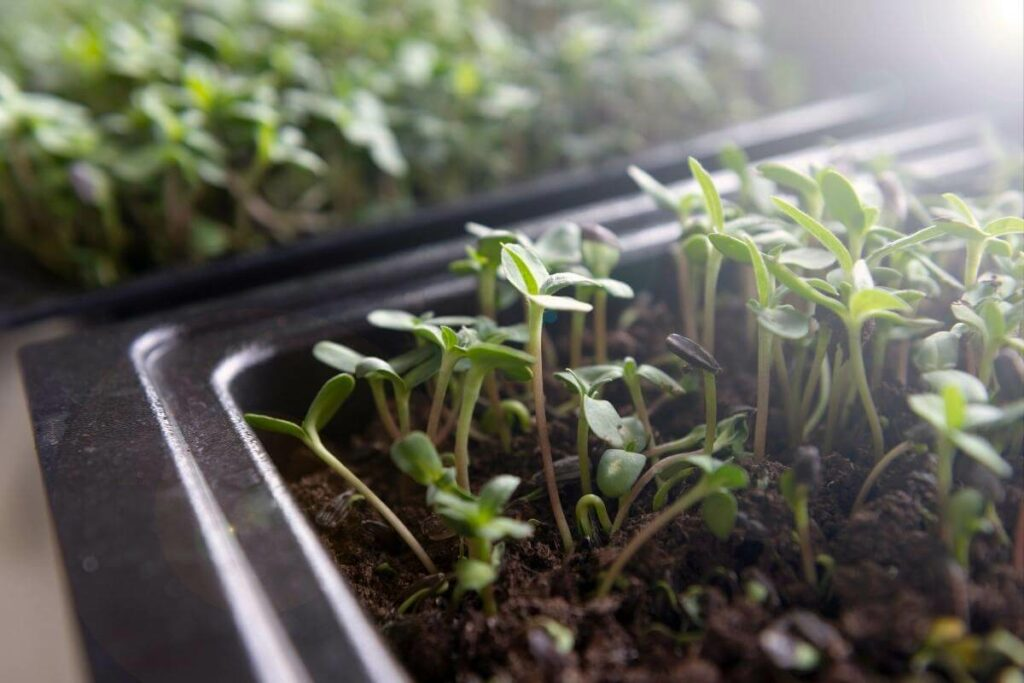What are the benefits of indoorf planting cress