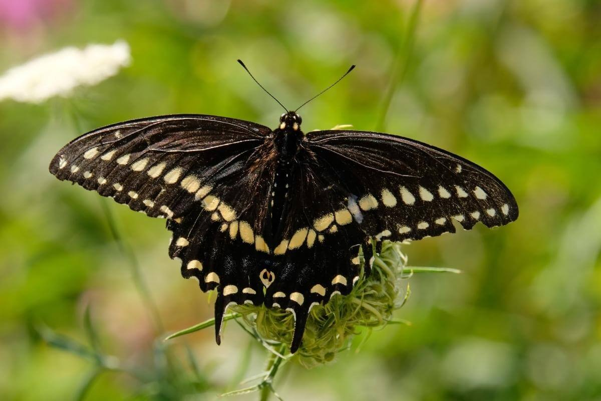 Black Swallowtail Male vs Female – How Do You Tell?