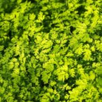 Can you eat parsley if yellow