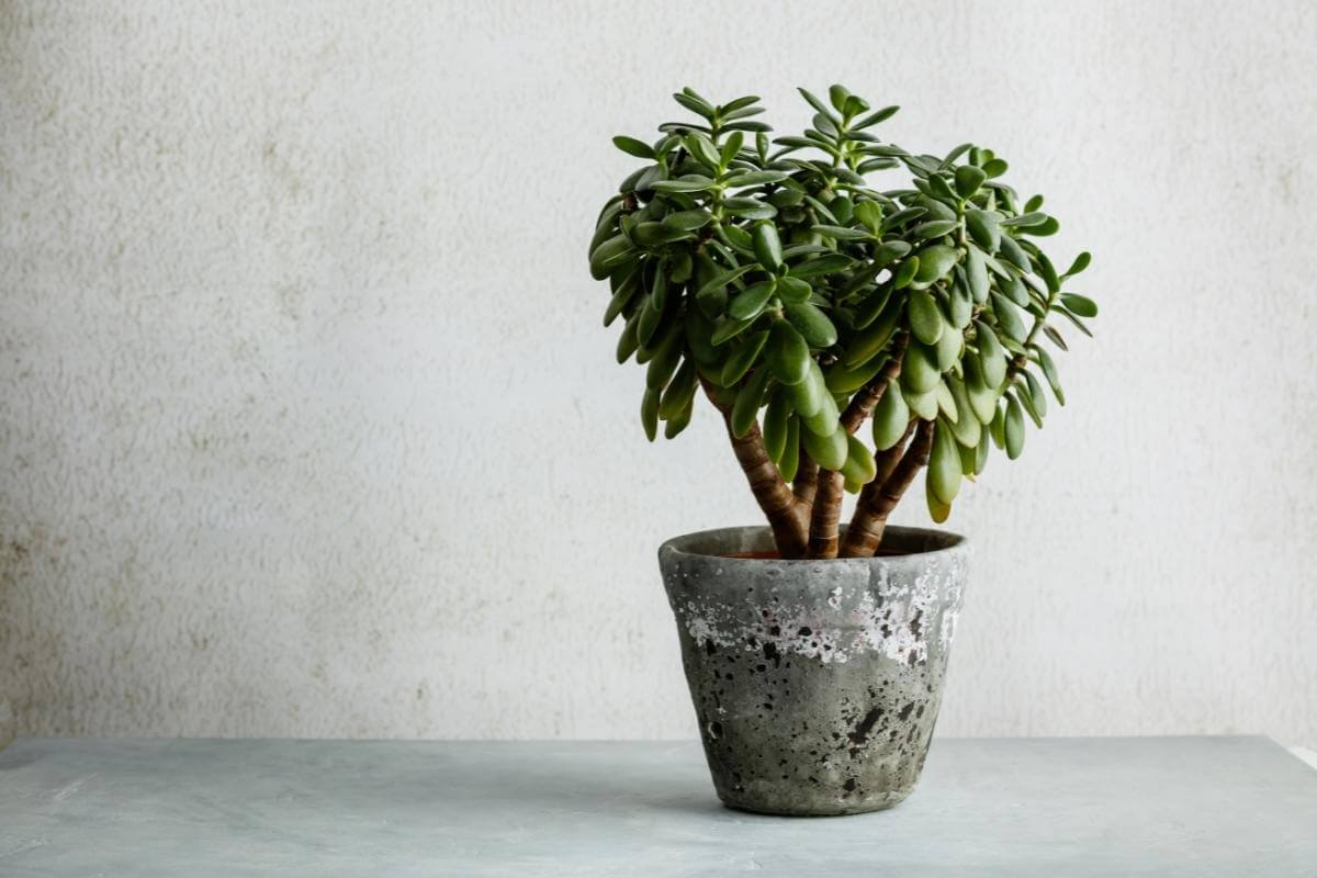 Your Complete Guide to Growing Jade Plants