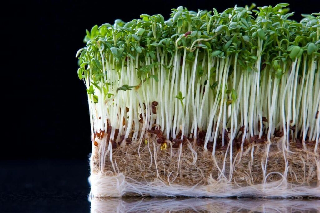 When Is Cress Ready to Harvest?