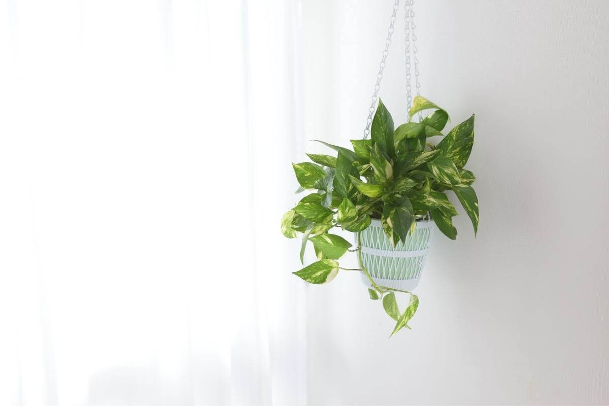 How to Tell the Difference Between Pothos vs. Philodendron