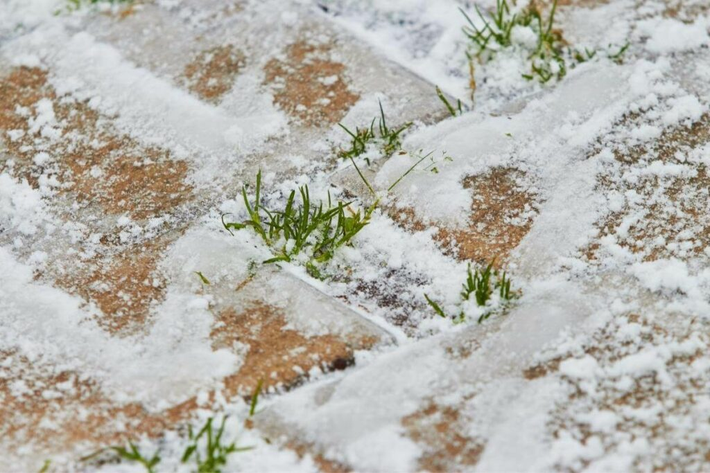 Do Grass Seeds Die in the Cold?