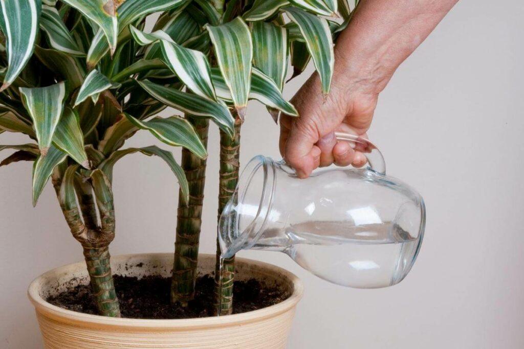 Dracaena are highly adaptable plant