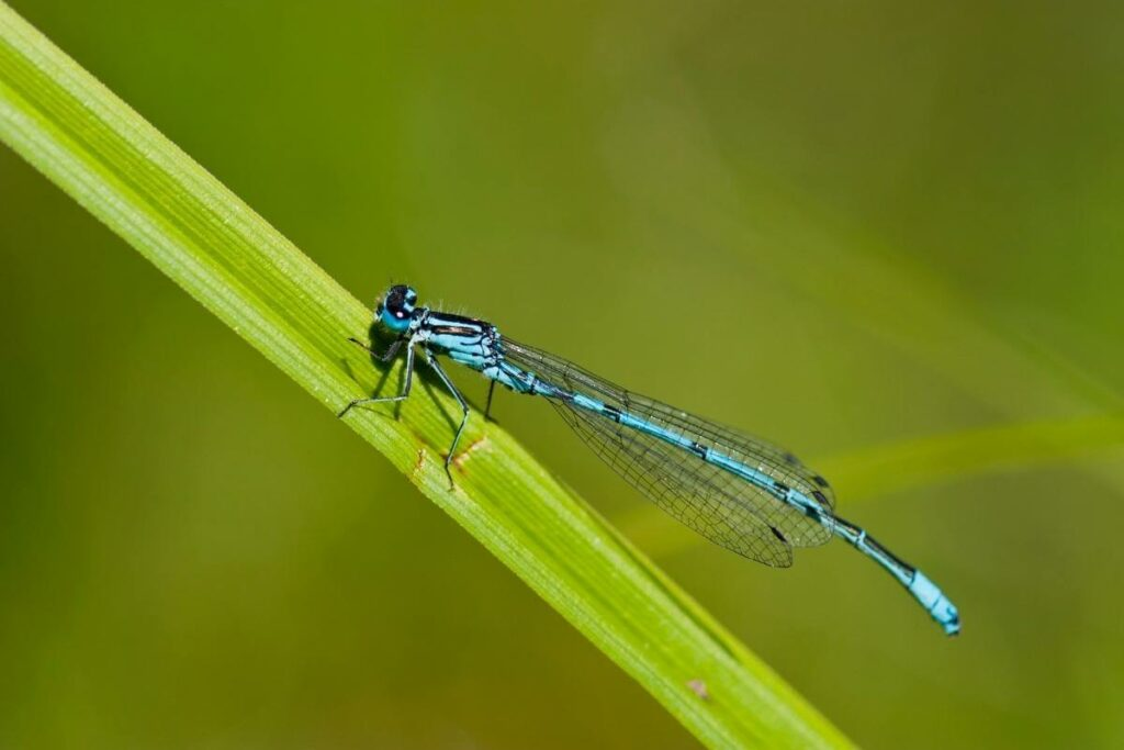 Attract blue dragonfly