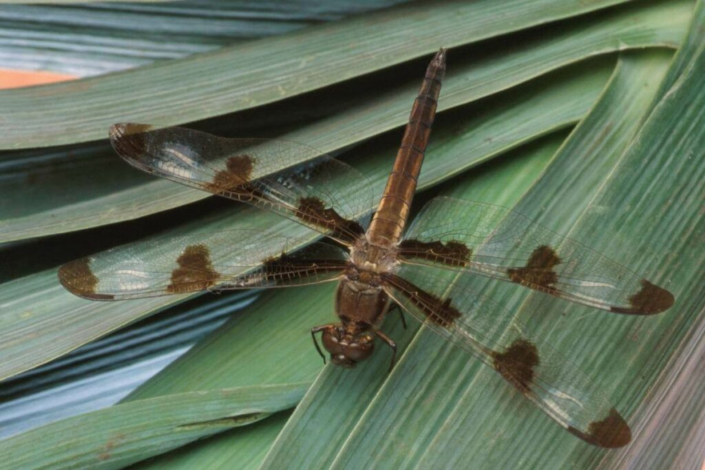 Dragonfly life cycle information