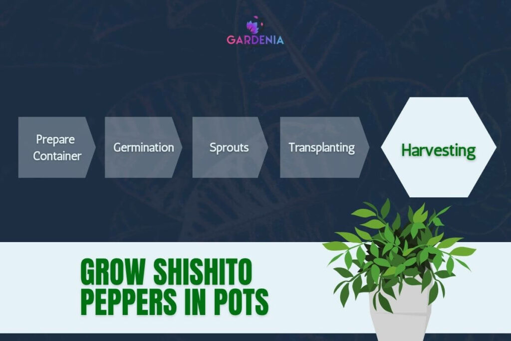 Grow shishito peppers in pots