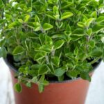 How to Harvest Oregano without Killing the Plant