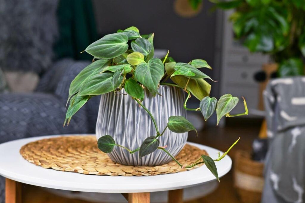 Philodendron hederaceum climbing indoor plant
