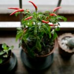Tips on How to Grow Chili Plants Faster at Home?