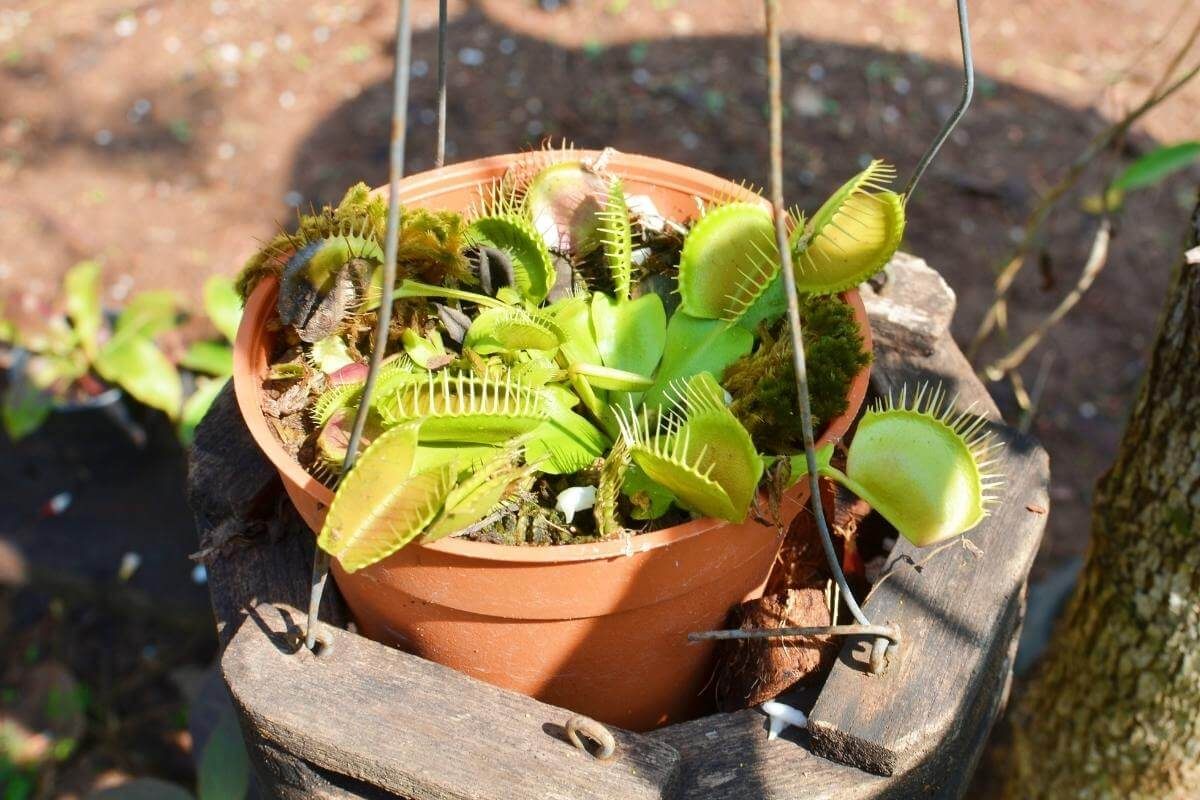How Much Water Does A Venus Flytrap Need?