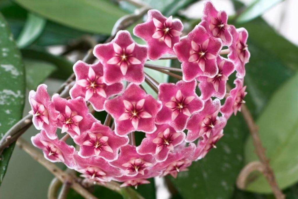 Hoya spp plant