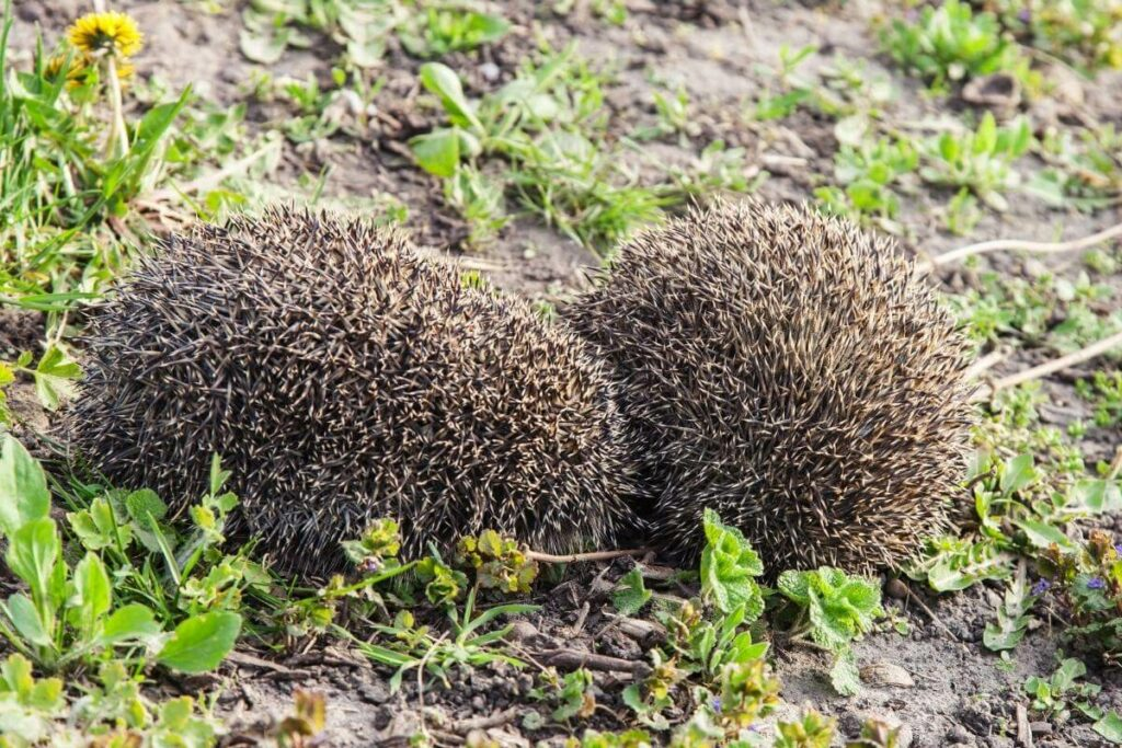 Interesting Tidbits About Hedgehogs