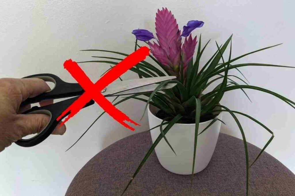 Avoid trimming Pink Quill plant pot