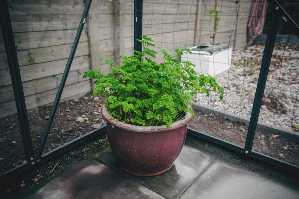Parsley water requirements and dry soil