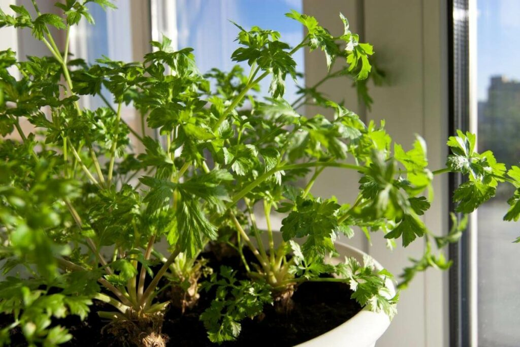 Parsley problems with aphids