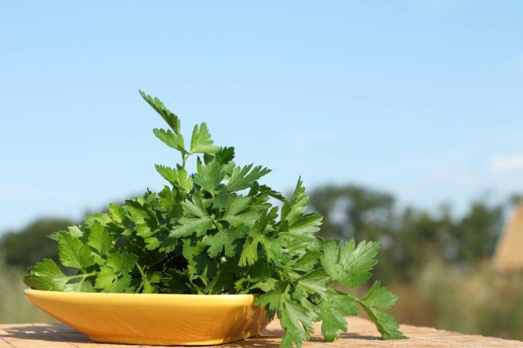 If Parsley turning yellow can you eat it