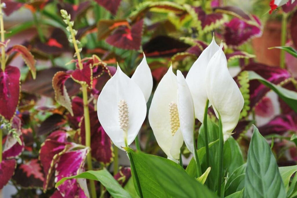 Prevent Peace Lily Flowers getting brown