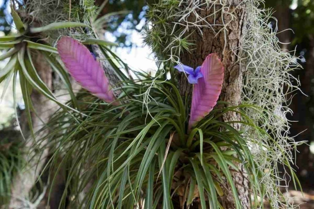 Pink quill plant keep outside