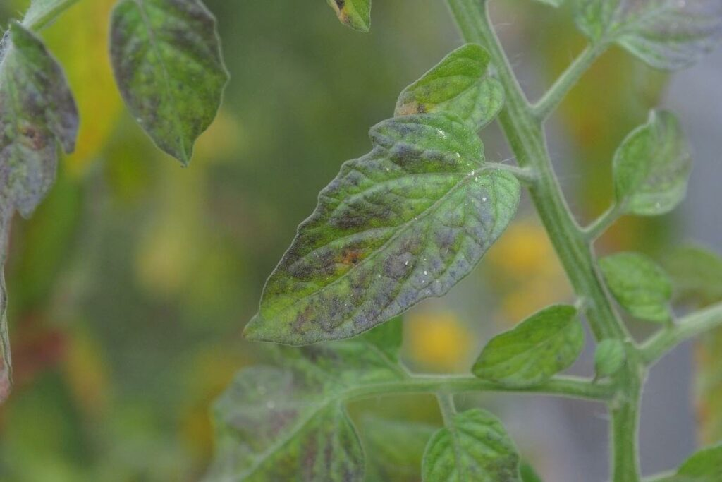 Signs of Potassium Deficiency in Aquaponic Plants