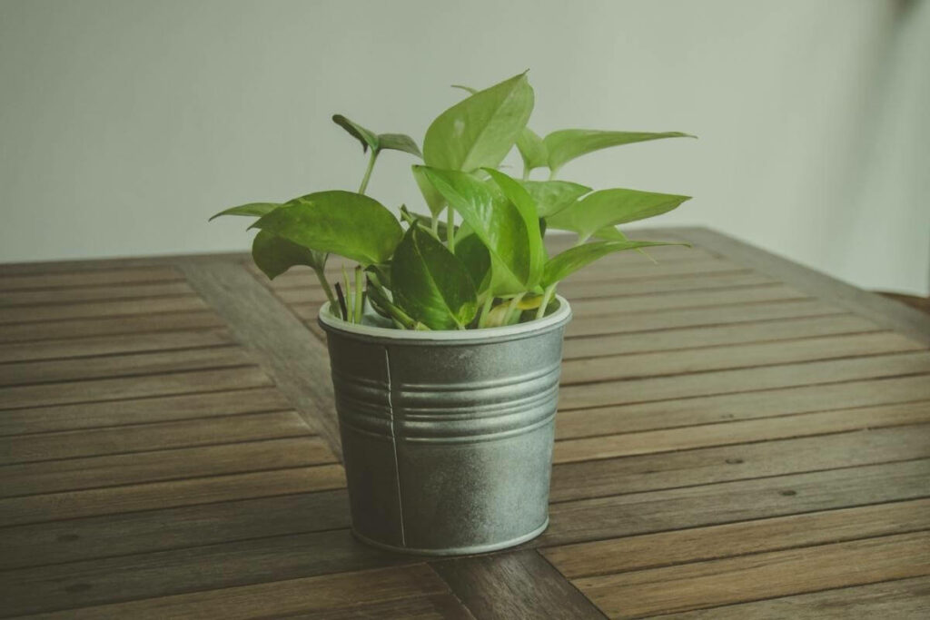 Pothos plants for office without windows