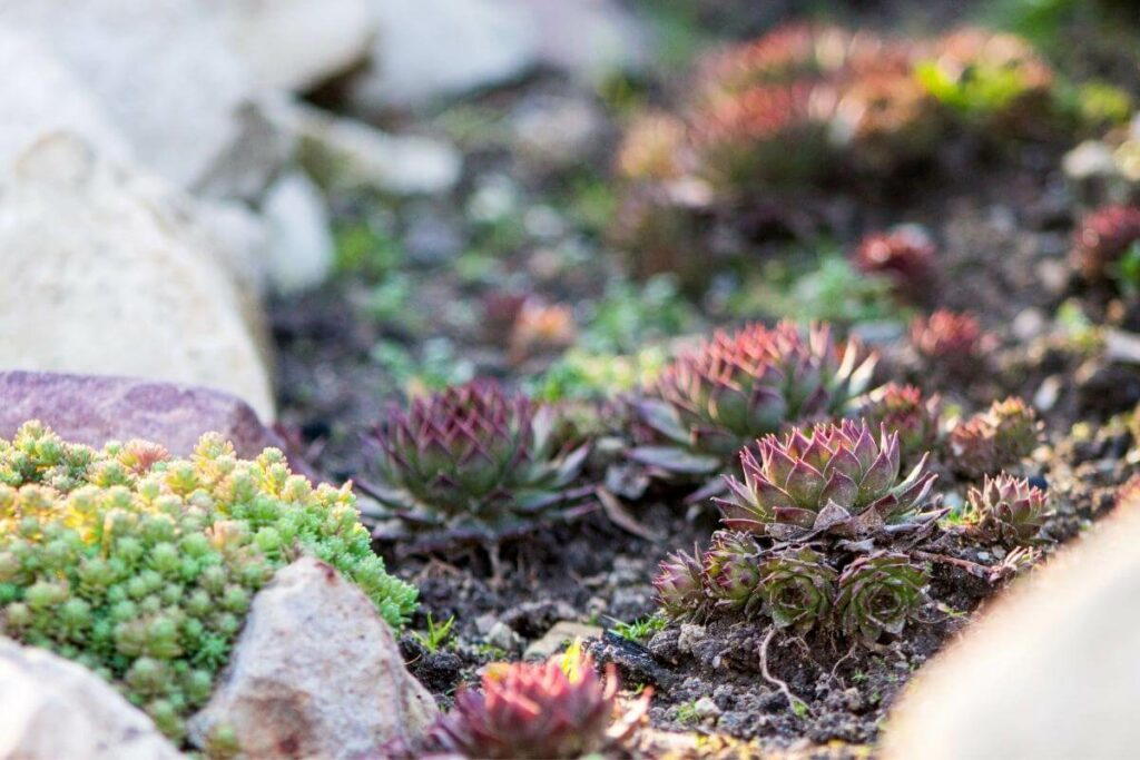 Succulents watering in moss