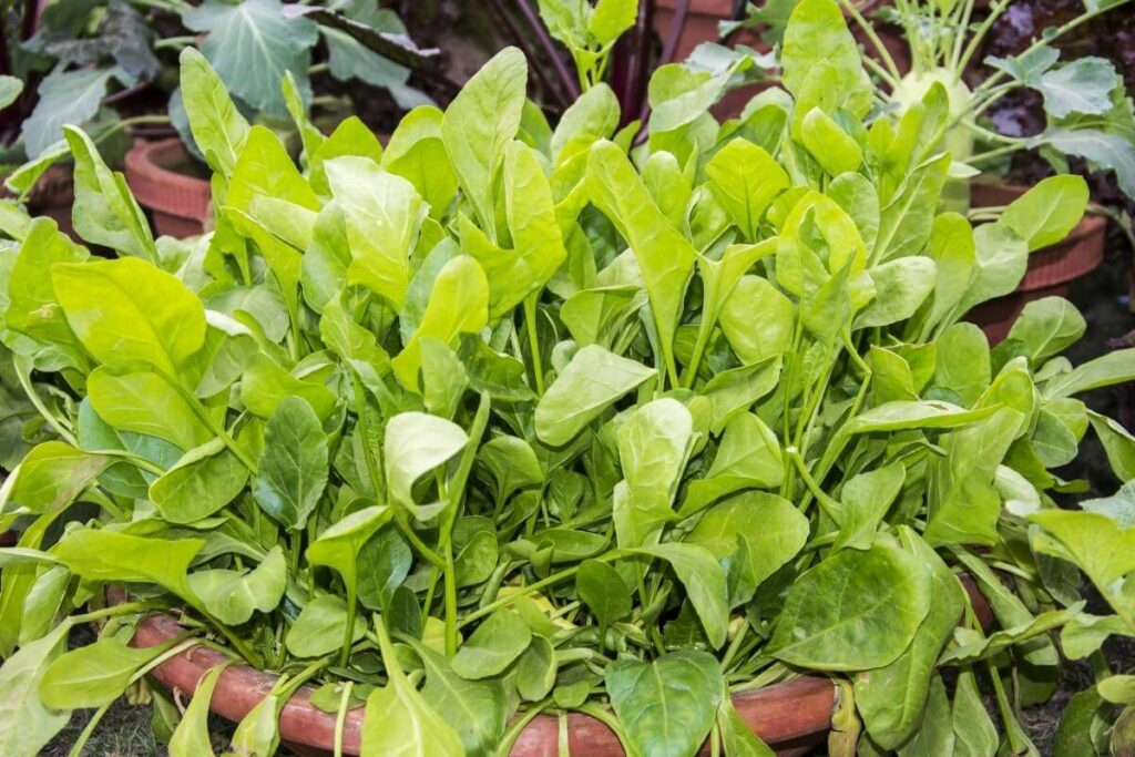 You can Grow spinach hydroponically