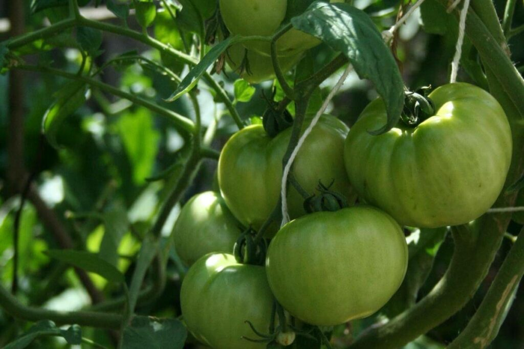 Tomatoes grown hydroponically