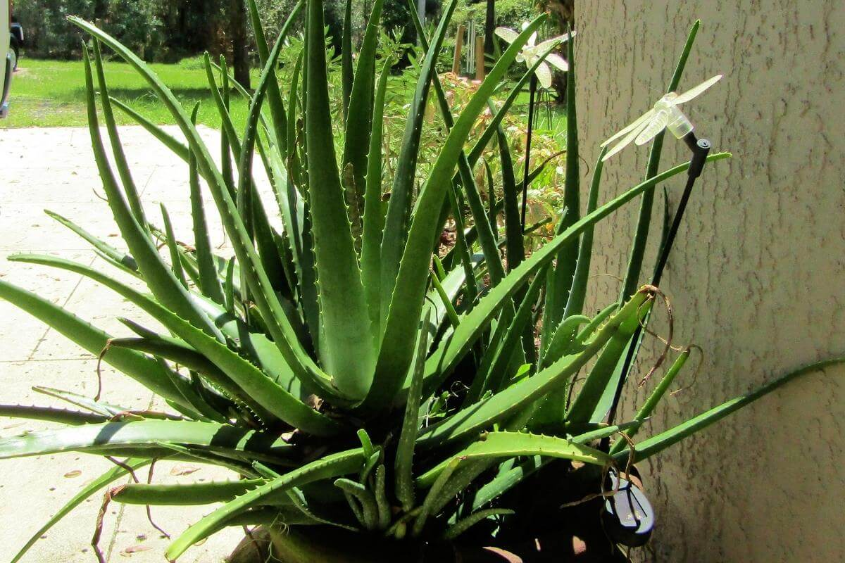 Do You Water Aloe Vera Plants from Top or Bottom?