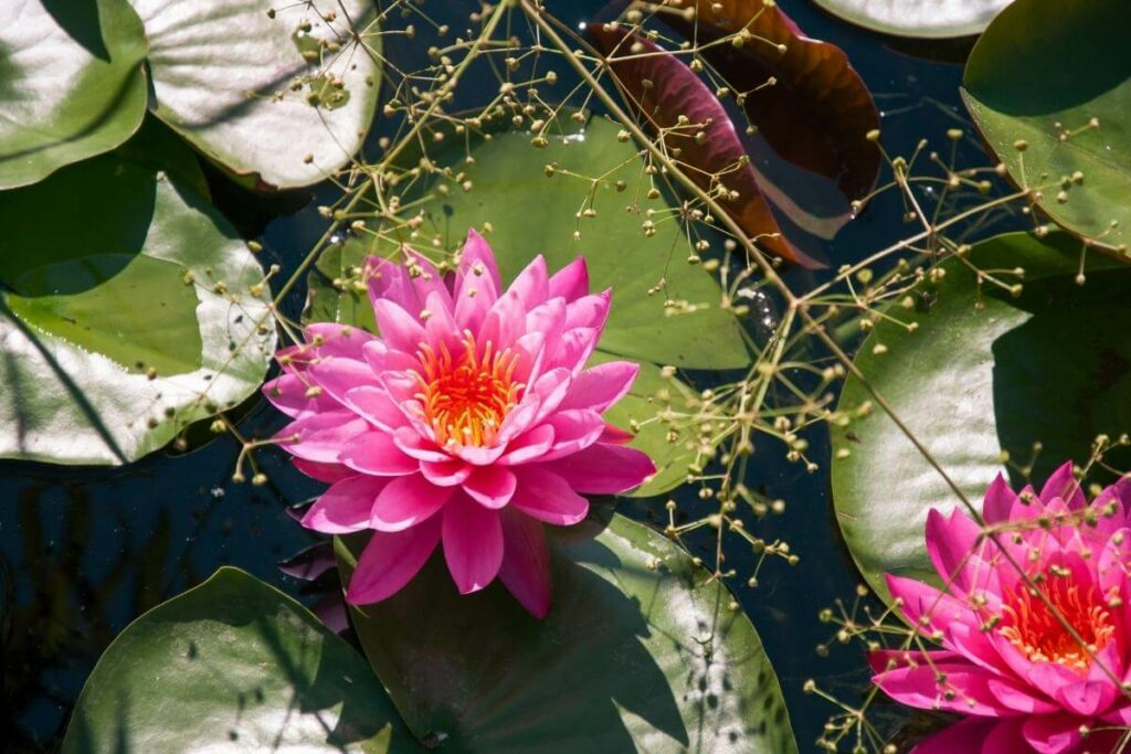 Attract dragonfly with Water lily in your pond