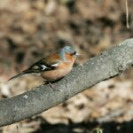 What chaffinches eat