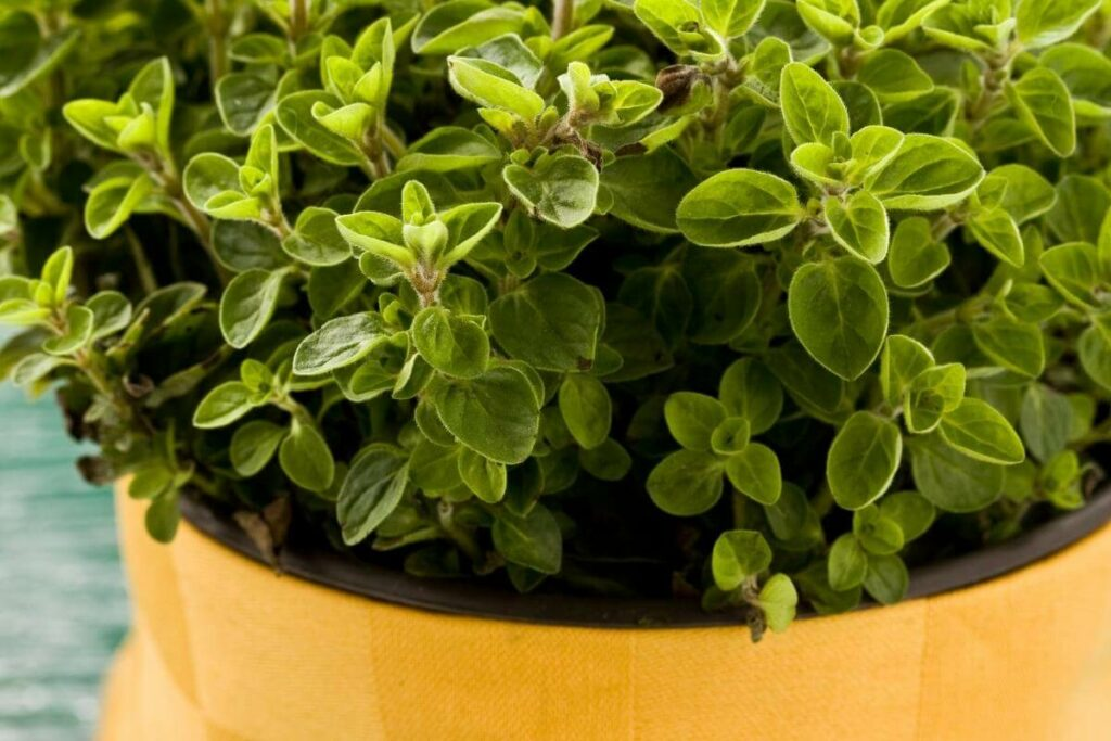 What Is Oregano Used For?
